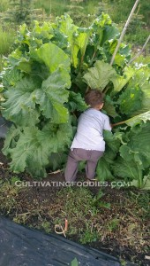 Rhubarb Hunting #cultivatingfoodies