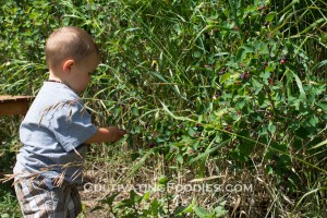 Little chef berry picking
